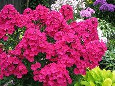 Флоксы в вашем саду