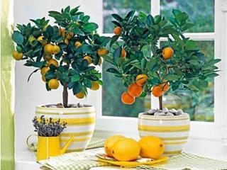 Как вырастить комнатный лимон
