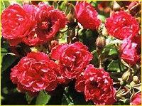 Садовые цветы