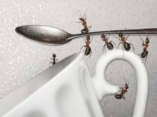 Домашние (домовые) муравьи: как с ними бороться