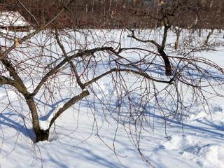 Зимняя прививка деревьев