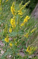 kycтарниковое степное растение семейства бобовых c желтыми цветк: