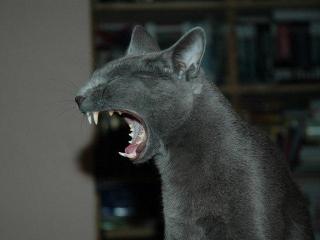 «Кошки – это кошки»*. Домашние животные в бонистике**